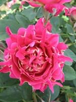 Роза флорибунда Романтик Раффлз-розовый