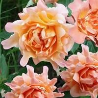 Роза флорибунда Раффлз Дрим-оранжевый