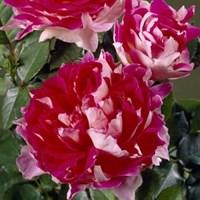 Роза флорибунда Раффлз Пэшн-розовый