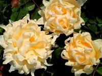 Роза флорибунда Раффлз Куин-желтый