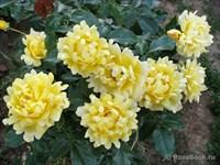 Роза флорибунда Сплендид Раффлз-желтый