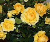 Роза чайно-гибридная Багама-желтый