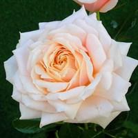 Роза чайно-гибридная Барбадос-розовый