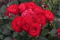 Роза чайно-гибридная Доминика-красный