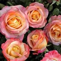 Роза чайно-гибридная Фиджи-розовый