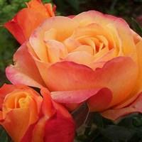 Роза чайно-гибридная Ибица-оранжевый
