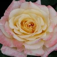 Роза чайно-гибридная Тринидад-кремовый