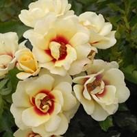 Роза персидский гибрид Глориос Бейбилон Айз-кремовый