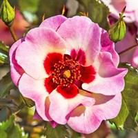 Роза персидский гибрид Свит Бейбилон Айз-розовый
