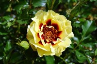 Роза персидский гибрид Сансет Бейбилон Айз-желтый