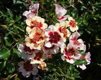Роза персидский гибрид Пастель Бэбилон Айз-кремовый