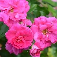 Роза парковая Капитан Сэмуел Холланд-розовый