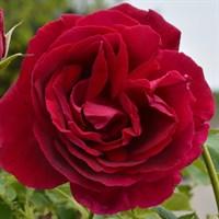 Роза парковая Кутберт Грант-темно-бордовый