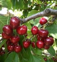 Черешня Крупноплодная-красный