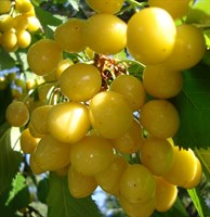 Черешня Чермашная-желтый
