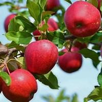 Яблоня Веньяминовское-красный