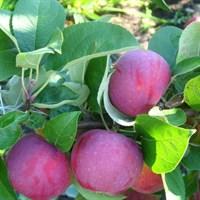 Яблоня Орлик-красный