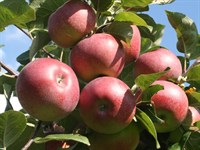 Яблоня Лобо-красный