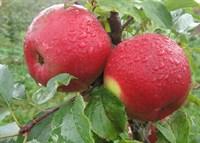 Яблоня Лигол-красный