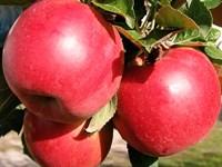 Яблоня Женева-красный