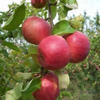 Яблоня Жигулёвское-красный