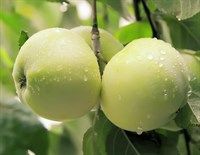 Яблоня Антоновка-зеленый