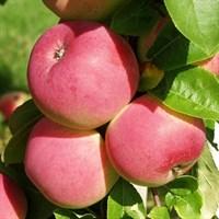Яблоня Мельба-зеленый