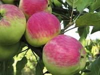 Яблоня Мантет-зеленый