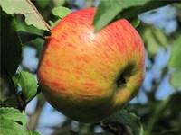Яблоня Медуница-зеленый