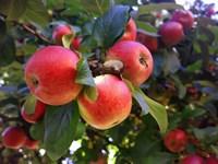Яблоня Мечта-зеленый