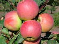 Яблоня Успенское-зеленый