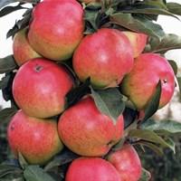 Колоновидная яблоня Валюта-зеленый