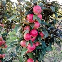 Колоновидная яблоня Васюган-зеленый