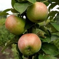 Колоновидная яблоня Гирлянда-зеленый