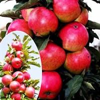 Колоновидная яблоня Арбат-красный