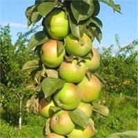 Колоновидная яблоня Малюха-зеленый