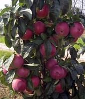 Колоновидная яблоня Червонец-красный