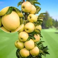 Колоновидная яблоня Президент-зеленый