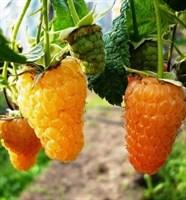 Малина Оранжевое чудо-желтый