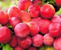 Слива Деликатесная розовая-красный