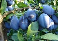 Слива Стенлей-синий