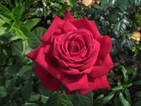 Роза Алекс Ред-красный