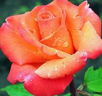 Роза Амбассадор-оранжевый