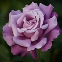 Роза Шарль де Голль-сиреневый