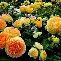 Роза Коин-оранжевый