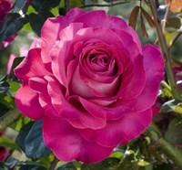 Роза Дивайн-фиолетовый