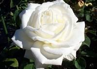 Роза Ивнинг Стар-белый