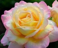 роза Глория Дэй-двухцветный