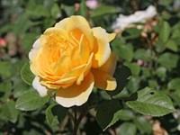Роза Голден Лиф-желтый