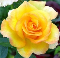роза Голден Медальон-желтый